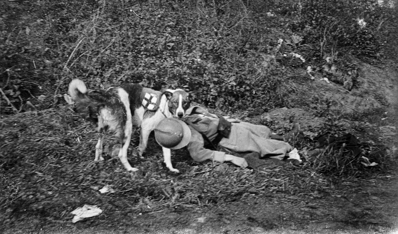 Guerre 1914-1918. Chien sanitaire traînant un blessé français.